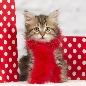 Cat - Siberian kitten - with scarf and gift bags
