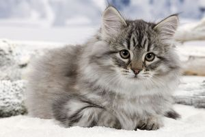 Cat - Siberian Kitten - in snow
