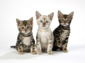 CAT. Snow Marble & Brown Marble blue-eyed Bengal kittens - 6 weeks old