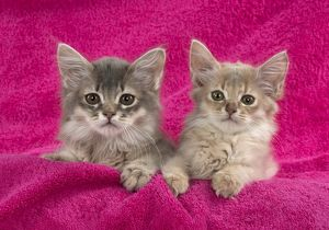 CAT. Somali kittens ( 8 weeks old ) fawn & blue