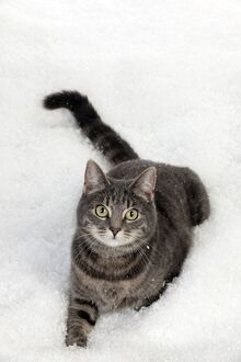 CAT - Tabby cat laying in snow