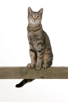 CAT - Tabby cat sitting on a beam