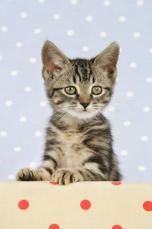 Cat - Tabby kitten