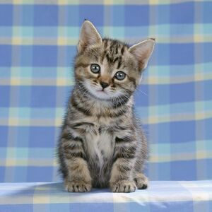CAT - Tabby kitten on blue check material