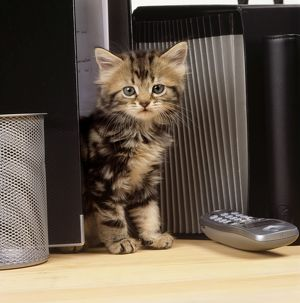 CAT - Tabby kitten on office desk with files and phone