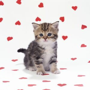 Cat - Tabby Kitten on pink hearts background