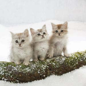 CAT - Tiffanie kittens sitting together on log in snow