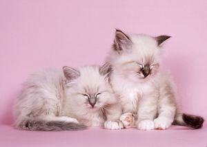 CATS - Blue Tabby and Seal Tabby Birman kittens asleep