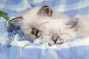 CATS - Seal Tabby and Blue Tabby Birman kittens asleep on check material