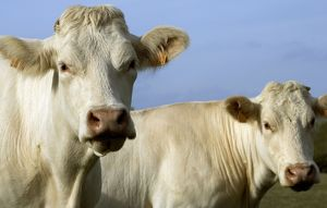Cattle - Charolais Cow