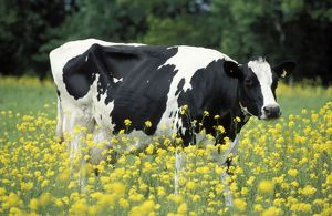 Cattle / Freisian Cow - In a meadow, yellow coloured oil-seed rape (Brassica napus)