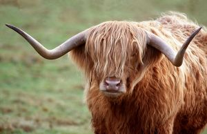 CATTLE - HIGHLAND BULL, faces