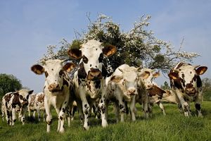 Cattle - Normande Breed - herd in field facing camera