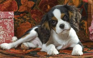 Cavalier King Charles Dog - puppy
