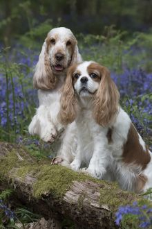 Cavalier King Charles Spaniel and Cocker Spaniel in spring Blue