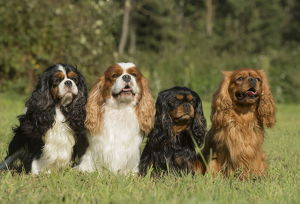 Four Cavalier King Charles Spaniel Dogs outdoors