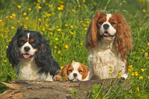 Cavalier King Charles Spaniel - three sitting behind log