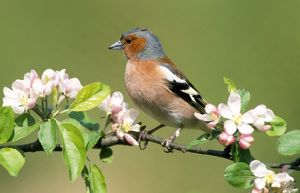 Chaffinch - by apple blossom