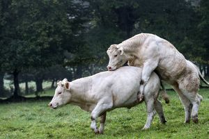 Charolais Cow / Cattle - simulation mating. Vesoul,