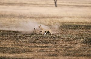 CHEETAH - chasing ThomsonOA³ gazelle prey