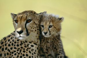 CHEETAH - close-up of mother & cub