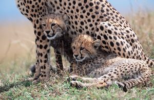 CHEETAH & two cubs sheltering with mother