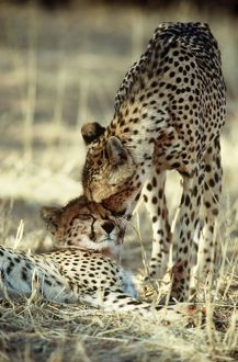 CHEETAH - Female nuzzles cub