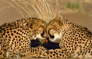 CHEETAH - pair grooming, facing