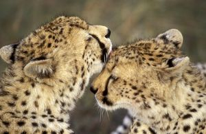 Cheetah - two showing affection