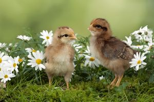 CHICK - Chicks in flowers
