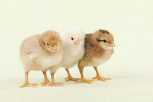 CHICK - Chicks standing together