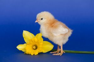 Chick with daffodil