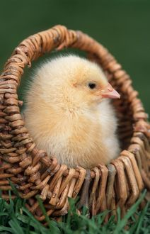 Chick in small basket