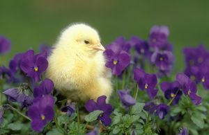 CHICKEN - Chick in pansies