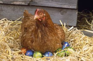 Chicken - on easter eggs