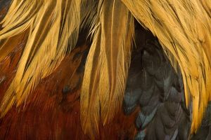 Chicken - Gallic Rooster / Cockerel - close-up of plumage