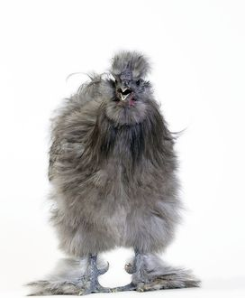 Chicken Grey Silkie