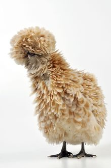 CHICKEN - Polish frizzle