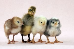 Chicks standing with duckling