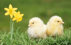 CHICKS -two chicks pictured by daffodils