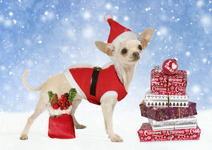 Chihuahua wearing Christmas outfit and hat with