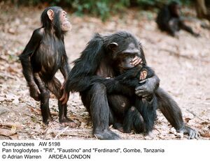 CHIMPANZEE - family, 'Fifi', 'Faustino' and 'Ferdinand'