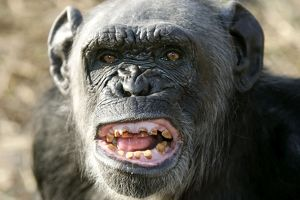 Chimpanzee - yawning showing close-up of mouth and teeth aggressive