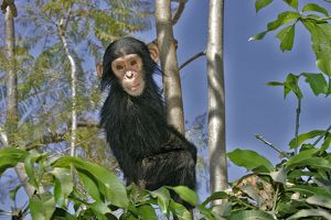 Chimpanzee - young in tree