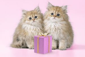 Cat - Chinchilla Kittens with present