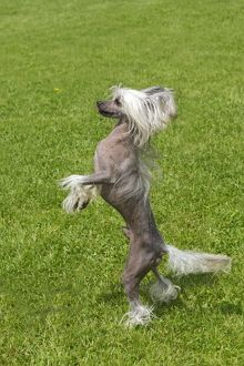 Chinese Crested Dog - standing on hind legs