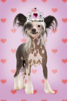 Chinese Crested Dog wearing Tiara on heart background