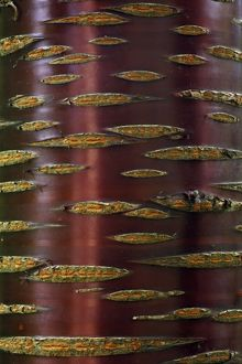 Chinese Red-Barked Birch Tree - detailed study of bark on stem