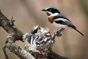 Chinspot Batis - at nest with young