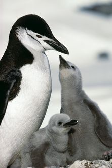 CHINSTRAP PENGUIN - adult with two chicks, one begging